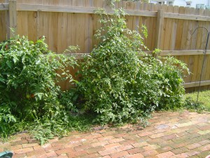 Attack of the killer tomato plants